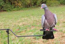 l 39 univers du chasseur de pigeons le partenaire des chasseurs de migrateurs. Black Bedroom Furniture Sets. Home Design Ideas
